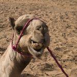dromedary tangier morocco