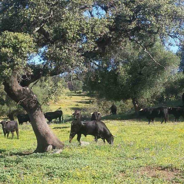 bulls farm visit from seville